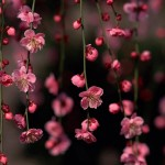 Jolies-fleurs-roses1